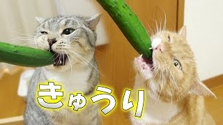 猫がキッチン内のきゅうりに興味を持ったので見せてみました。 最後は面...