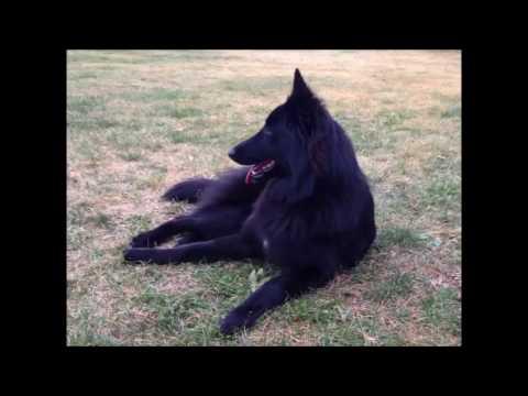 Kalea Noelani: fan video of Belgian puppy's 1st Year