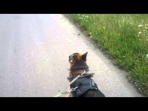 Дикие Динго – самые умные собаки - Видео