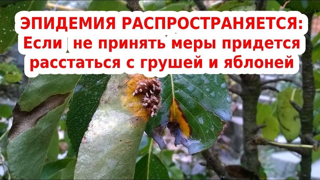 опасная болезнь груши и яблони - ржавчина от можевельника