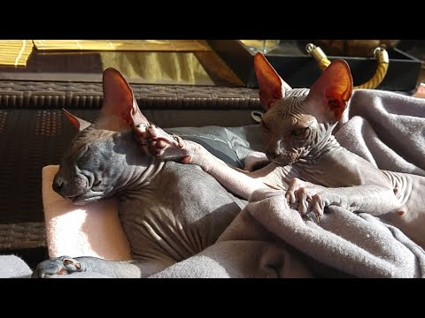 Lovely sphynx kittens brothers enjoying the time together / DonSphynx /