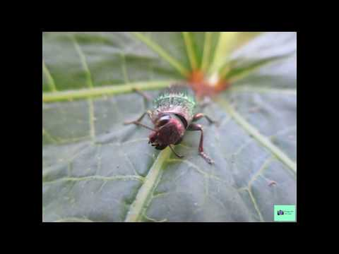 Lampetis (The  Jewel Beetle bug's) Behavior