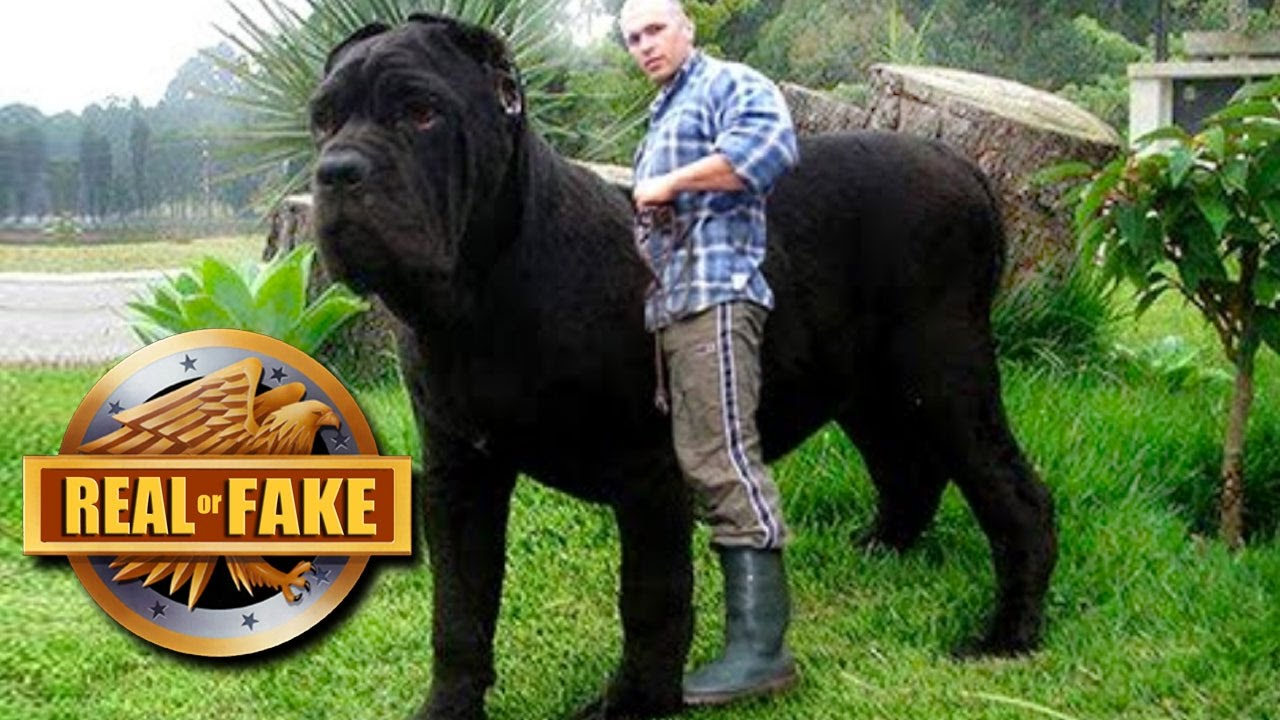 WORLD'S BIGGEST DOG 2017 - Real or Fake - YouTube