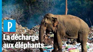 Sri-Lanka: quand les éléphants se nourrissent dans les décharges