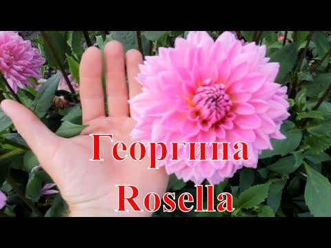 Георгина Rosella