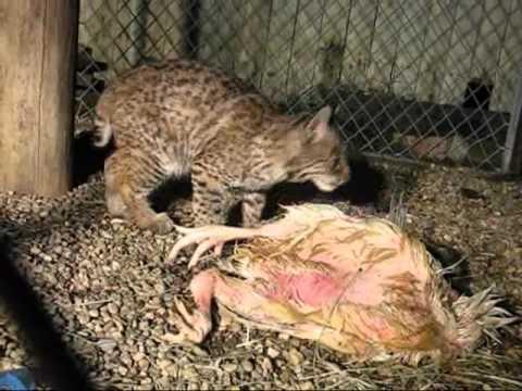 Bobcats Eating