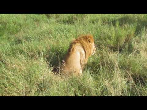 Tanzania 2016- Safari w Serengeti- stary lew na drodze