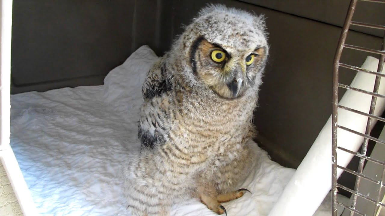 Paws Sc Com Great Horned Owl Baby Quillan Eeping And
