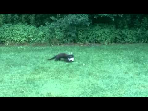 Fisher vs Skunk