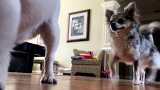 what chihuahuas really do when no one is home!