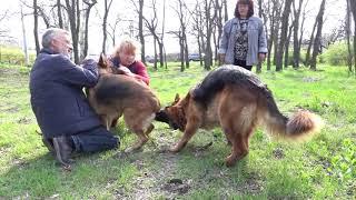 💗Знакомство Райда и Мегги. Acquaintance. Немецкие овчарки. German Shepherd Dog