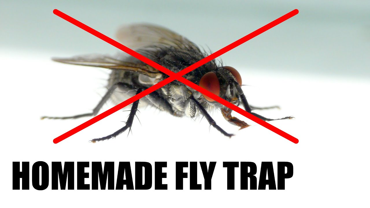 Which Bait Works Best for a Homemade Fly Trap? | Science Project