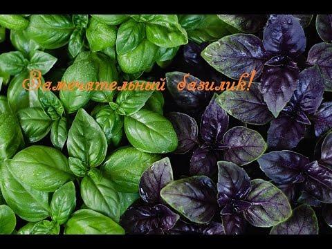 Базилик свойства  Сбор семян и посев. Basil is an annual plant