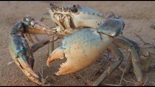 暴風雨前的收穫真不錯,收穫兩隻大螃蟹,大賺特賺! 【海村小梅】