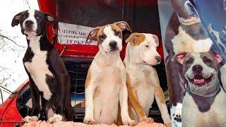 Щенки Стаффордширского терьера 4 месяца. Staffordshire Terrier puppies 4 months. Odessa.