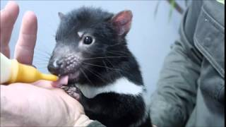 Tasmanian devil joey drinking from bottle thumbnail