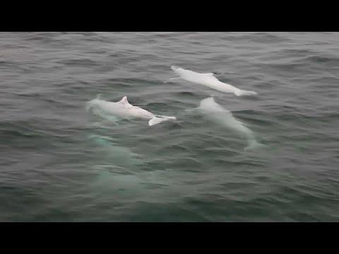 الدلافين النادرة مهددة بجسر يربط هونغ كونغ بالصين  - نشر قبل 1 ساعة
