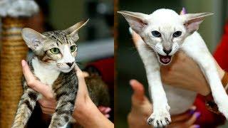 Сиамские  и Ориентальные Кошки - Описание и Характер | Породы КОШЕК