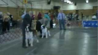 Nordogs Saint Bernard's At Orkc/tvkc Akc Dog Show