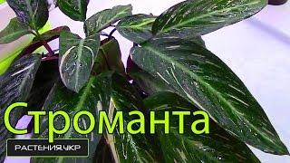 Как правильно ухаживать за Стромантой / How to treat Stromanta(Строманта купить у нас на сайте.Смотрите строманта фото а так-же строманта уход в домашних условиях и купи..., 2014-10-23T15:52:34.000Z)