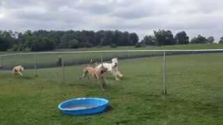 3 Greyhounds and an Afghan hound running along the fence. Willow is...