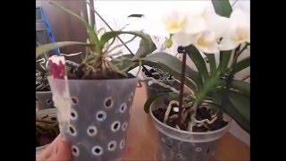 Уход за орхидеей в домашних условиях. Как поливать фаленопсис.(Особенности ухода за фаленопсисами, основанные на моем личном опыте. Совсем забыла рассказать именно про..., 2016-03-11T15:41:34.000Z)