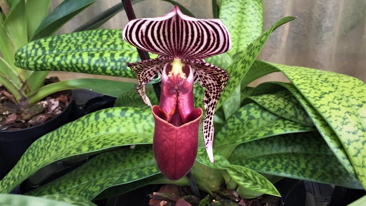 orchideen teil 1 frauenschuh besuch in der. Black Bedroom Furniture Sets. Home Design Ideas
