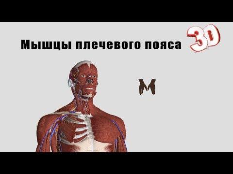 Мышцы плечевого пояса - детальный обзор 3д.