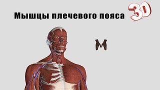 видео Мышцы плечевого пояса человека