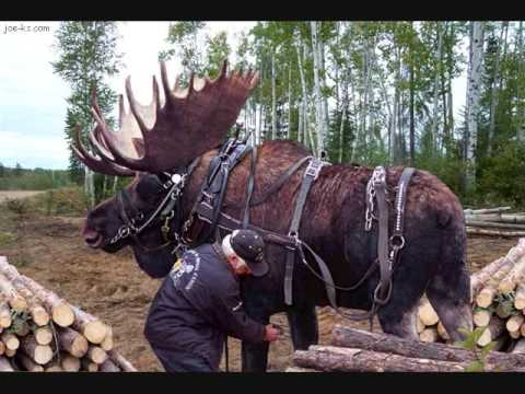 Image For Image For Image For Moose Hunting In Newfoundland