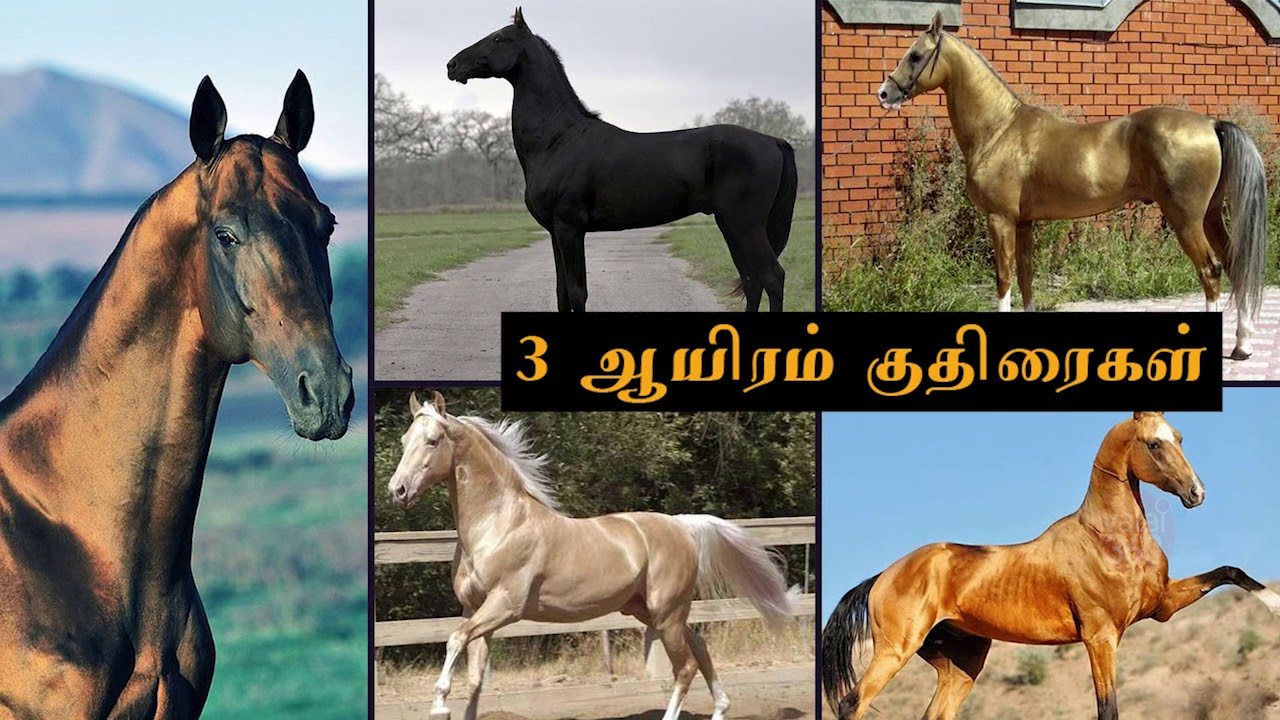 Akhalteke - the most beautiful horse in the world 60