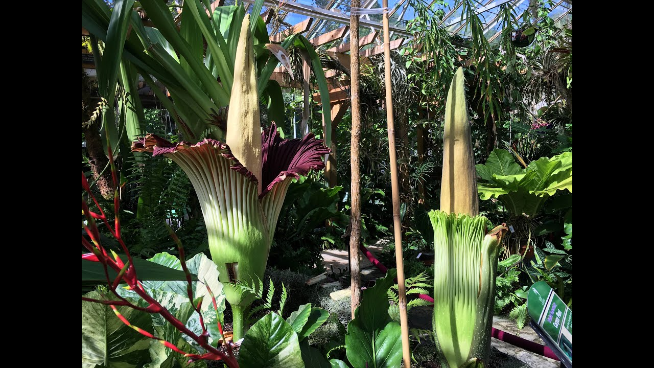 Marie Selby Botanical Gardens Titan Arum Flowering  Shot With Iphone 6s+
