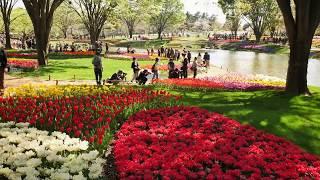 国営昭和記念公園のチューリップガーデンです。圧倒的な美しさを ご覧く...
