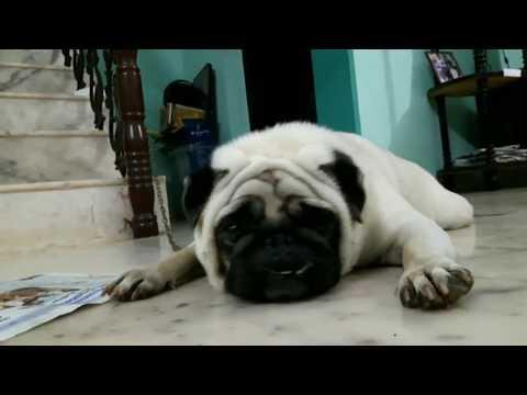 Cute PUG Dog Funny Video