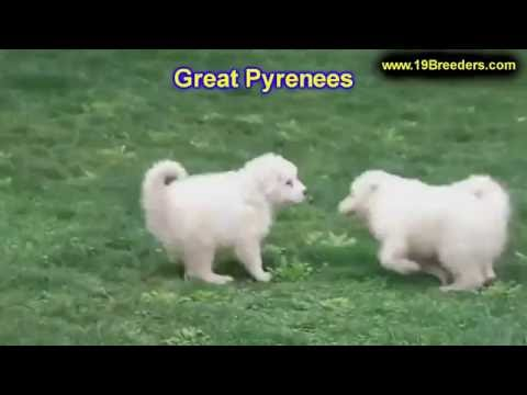 Great Pyrenees, Puppies, For, Sale, In, Badger, County, Alaska, Ak, Kink Fairview, College