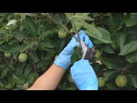 Как укоренить яблоню черенками видео