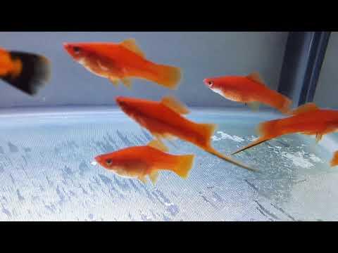 Swordtail Fish Breeding (Short Tail Fish) - Day 5