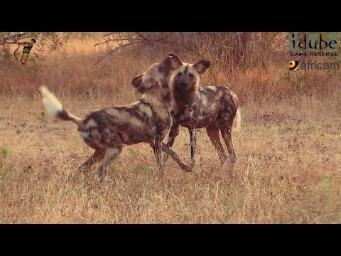 Endangered African Wild Dogs Wake Up In Glorious Morning Light