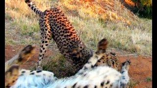 Art Of The Kill - Hit & Run Cat Fight - Female Cheetah Attacks Her Mate Biting His Neck -Just Play ?