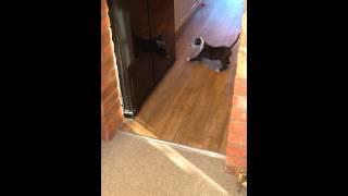 English Bulldog Cross Staffordshire Bull Terrier Puppy - 8 Weeks