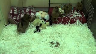 Little Rascals Uk Breeders New Litter Of Pom Spitz
