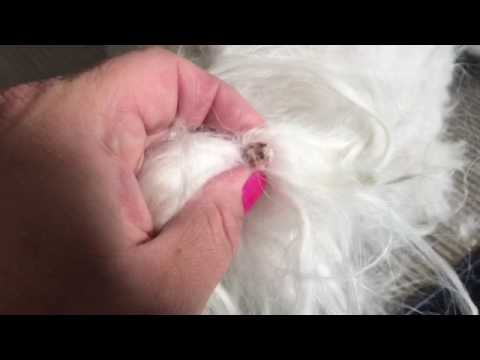 Burst Cyst On Dog S Tail