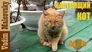 Настоящий кот.  Украл, съел, кайфую.  Из жизни вороватого кота. Мальковский Вадим