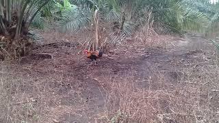 Video Pikat ayam hutan 2017..si jalur..2. download MP3, 3GP, MP4, WEBM, AVI, FLV Desember 2017