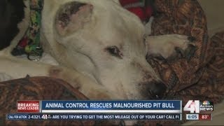 Malnourished Pit Bull Rescued From Kansas City Home