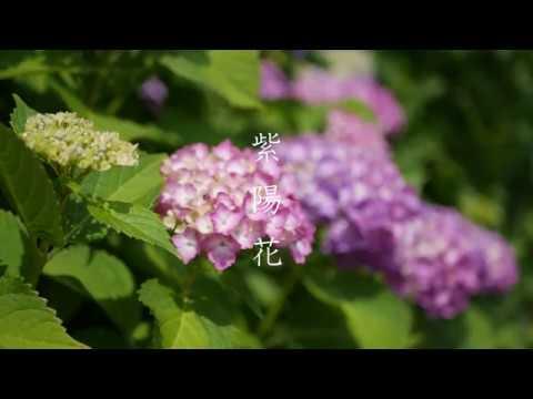 紫陽花 白和瀬神社