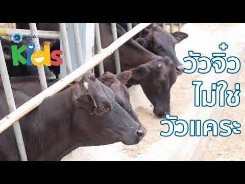 วัวจิ๋วไม่ใช่วัวแคระ [by Mahidol]