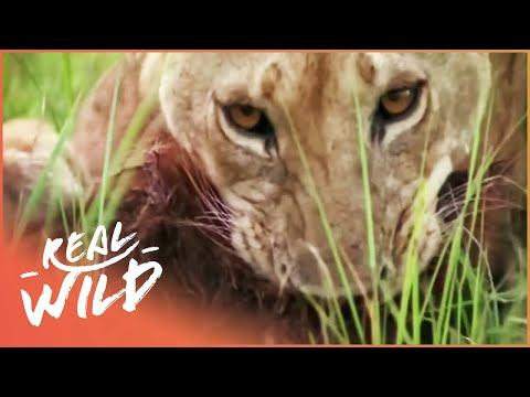 Lions On The Hunt For Baboons | Monkey Hunters | Real Wild  Shorts