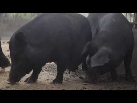 Native Pigs - Breeder Pag Bubuntis Episode 7 (MRI AGRI APP)