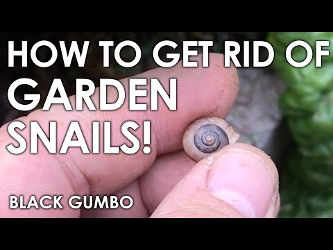 How We Eliminate Snails In The Garden || Black Gumbo